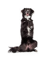 Well Trained Border Collie Mix Breed Dog Begging Royalty Free Stock Photo