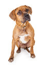 Well Trained Large Mixed Breed Dog Sitting Royalty Free Stock Photo