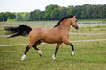 Welsh cob pony galopped over the paddock Royalty Free Stock Photography