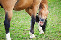 Welsh cob pony scratching the head at legs Stock Photo