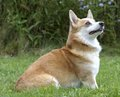 Welsh Corgi Stock Photography