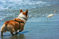 Welsh corgi in action at the beach Stock Photography