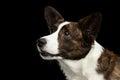 Welsh Corgi Cardigan Dog on Isolated Black Background Royalty Free Stock Photo