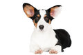 Welsh corgi cardigan dog isolated on white Royalty Free Stock Image