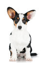 Welsh corgi cardigan dog isolated on white Stock Photography