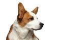 Welsh Corgi Cardigan Dog on Isolated White Background Royalty Free Stock Photo