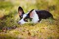 Welsh corgi cardigan dog lying down outdoors Royalty Free Stock Photo