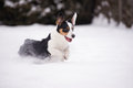 Welsh corgi cardigan dog outdoors in winter tricolor Stock Image