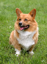 Welsh corgi cardigan dog the portrait of Royalty Free Stock Photo