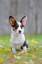 Welsh corgi cardigan dog portrait outdoors in autumn Royalty Free Stock Photo