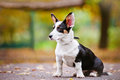 Welsh corgi cardigan dog portrait outdoors in autumn Stock Images
