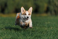 Welsh Corgi Royalty Free Stock Photo