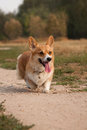 Welsh Corgi Pembroke Stock Photo