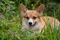 Welsh Corgi Pembroke_27 Royalty Free Stock Photo