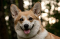 Welsh Corgi Pembroke_35 Royalty Free Stock Photos