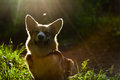 Welsh Corgi Pembroke_45 Royalty Free Stock Photography