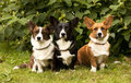 Welsh corgi pembroke dogs three sitting on the grass Royalty Free Stock Photos