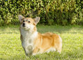 Welsh corgi pembroke a young healthy beautiful red sable and white dog with a docked tail standing on the grass the Stock Photos