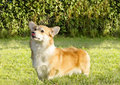 Welsh corgi pembroke a young healthy beautiful red sable and white dog with a docked tail standing on the grass sticking its Royalty Free Stock Photography