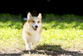 Welsh corgi pembroke a young healthy beautiful red sable and white dog with a docked tail walking on the grass happily the Royalty Free Stock Images
