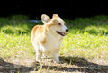 Welsh corgi pembroke a young healthy beautiful red sable and white dog with a docked tail walking on the grass happily the Stock Image