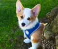 Welsh corgi the smartest dog on the planet Royalty Free Stock Photos