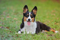 Welsh corgi with very bring black, red and white pattern Royalty Free Stock Photo
