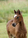 Welsh Foal Royalty Free Stock Photo
