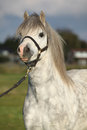 Welsh mountain pony with halter portrait of white Stock Image