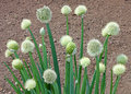 Welsh Onion Plants. Royalty Free Stock Image