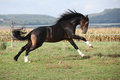 Welsh part bred stallion jumping on pasturage Royalty Free Stock Image
