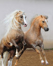 Welsh ponies fighting Stock Image