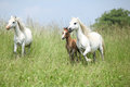 Welsh ponnies running mare with foal and another pony Stock Photography