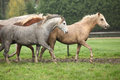 Welsh ponnies running on pasturage in autumn Stock Images