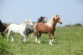 Welsh ponnies running together on green pasturage Royalty Free Stock Photo