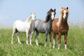 Welsh ponnies standing in the line three young on pasturage Royalty Free Stock Photography