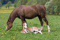 Welsh pony mare with foal Royalty Free Stock Photo