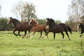 Welsh pony mares with foals running on green pasturage Stock Photo