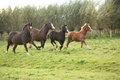 Welsh pony mares with foals running on green pasturage Stock Photography