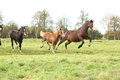 Welsh pony mares with foals running and jumping on green pasturage Stock Photography