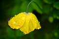 Welsh poppy in the english rain yellow with drops a garden setting Stock Images