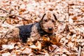 Welsh terrier in autumn leaves Stock Image