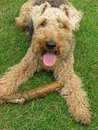 Welsh Terrier dog cute Royalty Free Stock Image
