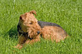 Welsh terrier lying on grass Royalty Free Stock Image