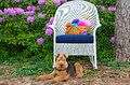 Welsh terrier with yarn basket in a rhododendron garden on white wicker chair Stock Photography