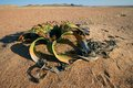 Welwitschia, Namib desert Royalty Free Stock Photo