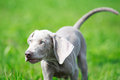 Wemaraner puppy dog in field on nature Stock Images