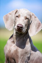 Wemaraner puppy dog in field on nature Royalty Free Stock Image