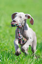 Wemaraner puppy dog in field on nature Royalty Free Stock Images