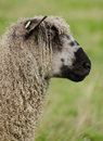 Wensleydale sheep profile a in a grassy north yorkshire field in Stock Image